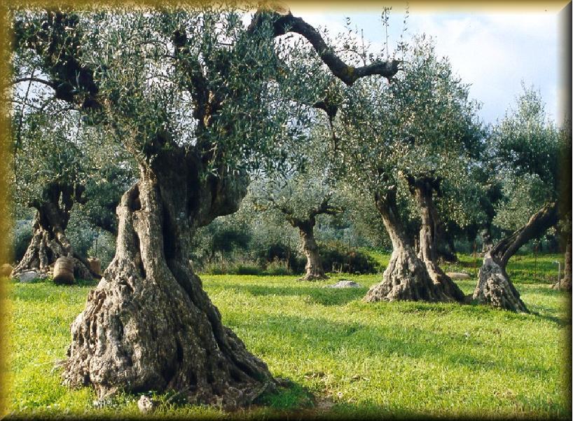 оливковое масло для увеличения грудины